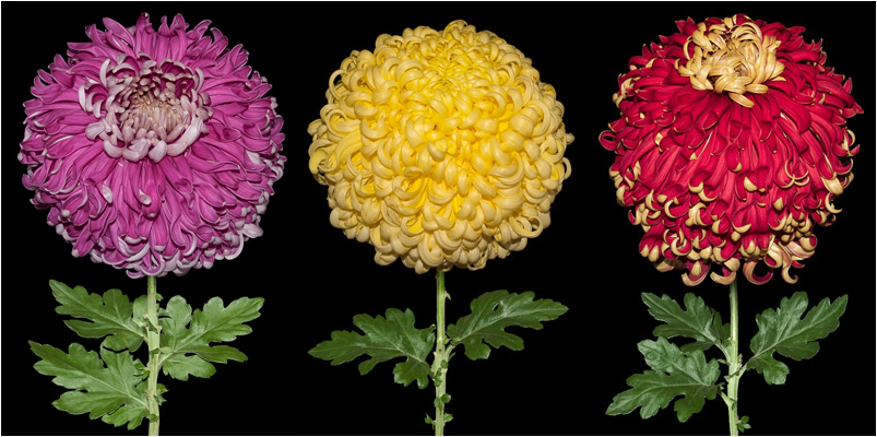 'Odour of Chrysanthemums'